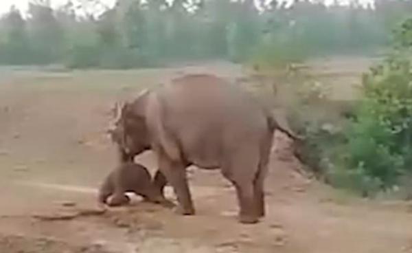 印母象产崽后遭村民扔石头 怒将男子当场踩死