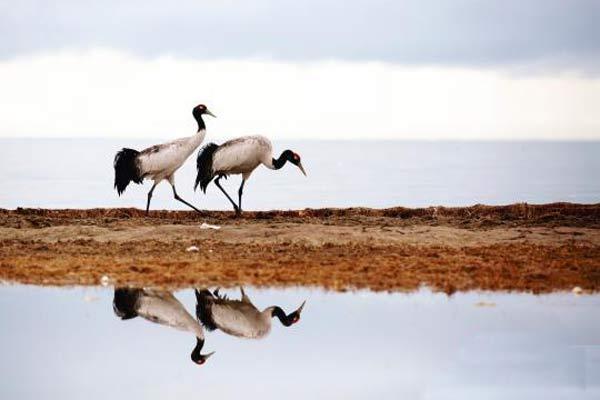 青海湖迎来大量夏候鸟