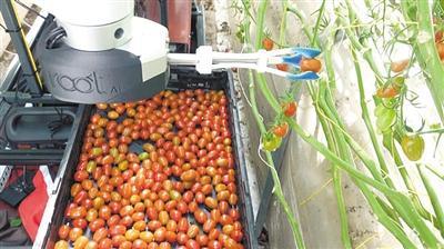 解放双手 美开发可采摘西红柿机器人