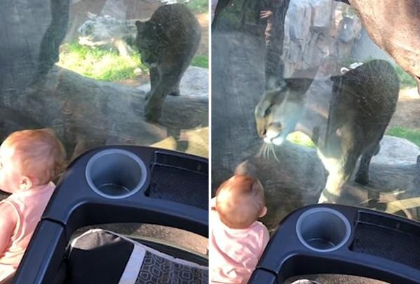 十月大萌娃与动物园中美洲狮隔玻璃互动交朋友