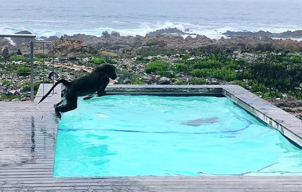 可爱!南非两只顽皮狒狒在居民家泳池嬉戏打闹
