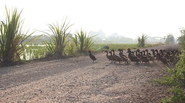 泰国3000只鸭子急行军过马路扬起尘土似沙尘暴