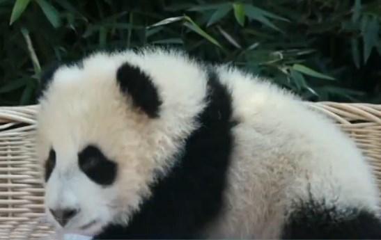 """国宝叫什么你说了算!大熊猫""""公主""""的宝宝公开征名啦!"""