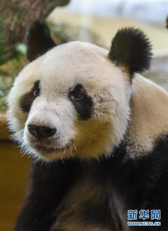 """大熊猫""""园园""""正式亮相维也纳"""