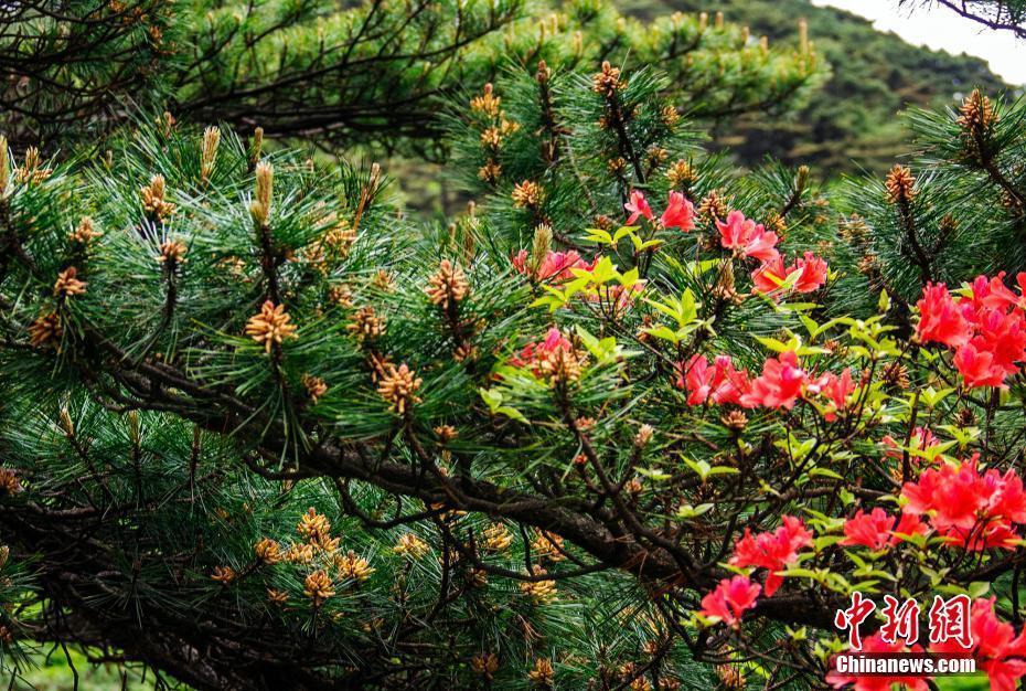 黄山松花开满枝 如嵌金铃