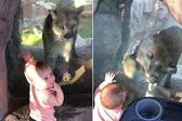 萌娃与美洲狮隔玻璃互动交朋友