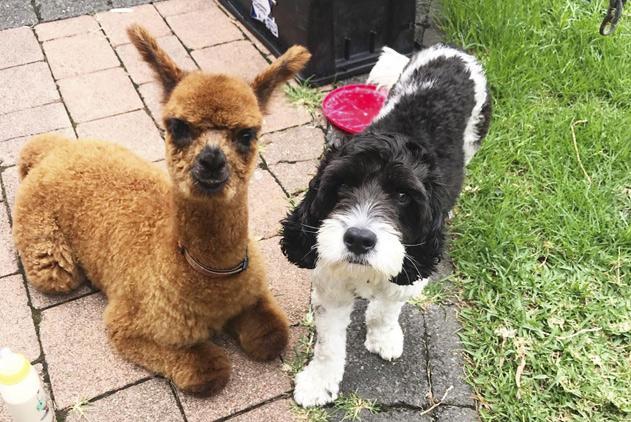 有爱!澳羊驼出生两天成孤儿 获农场狗狗照顾