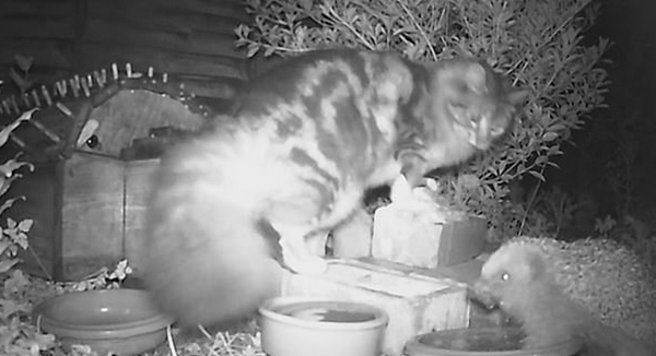 肥猫侵犯刺猬水碗 后者为保护领地狠咬反击