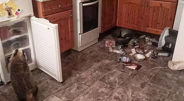 女子家中冰箱屡遭洗劫 罪魁祸首系一野生獾
