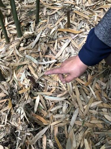 为吃鲜笋 北京两女子跑绿化带盗挖竹笋800余根