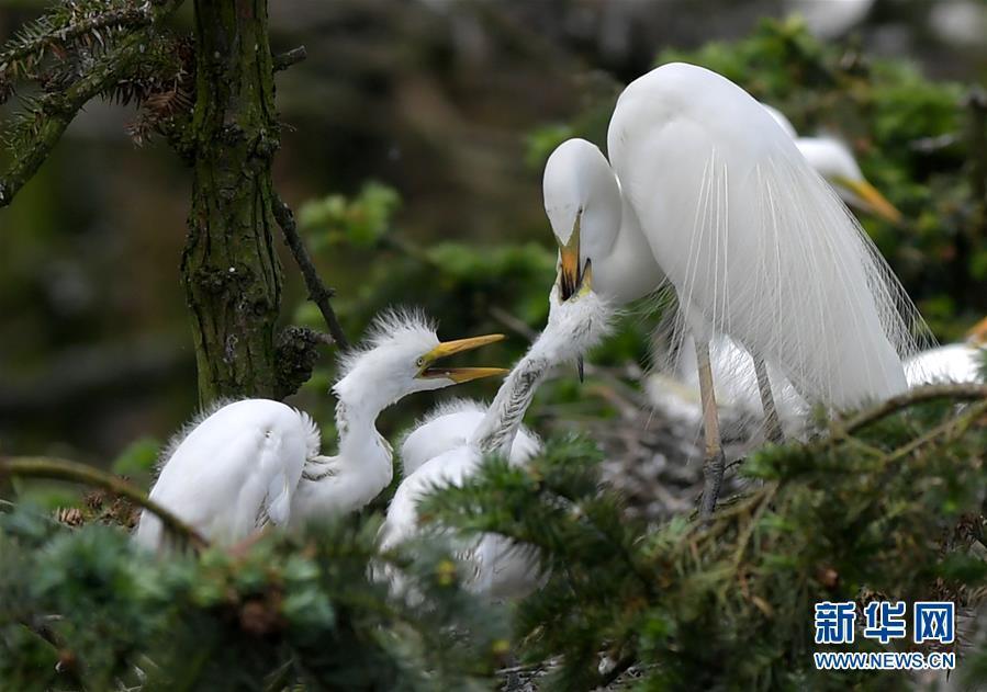 """江西南昌:""""鹭鸟王国""""生机勃勃"""