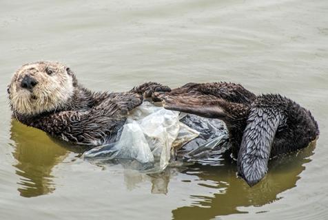 """睡觉要盖好""""被子"""" 水獭将塑料袋当海藻裹身上"""