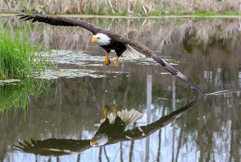 加拿大一秃鹰直视镜头飞过池塘留下完美倒影