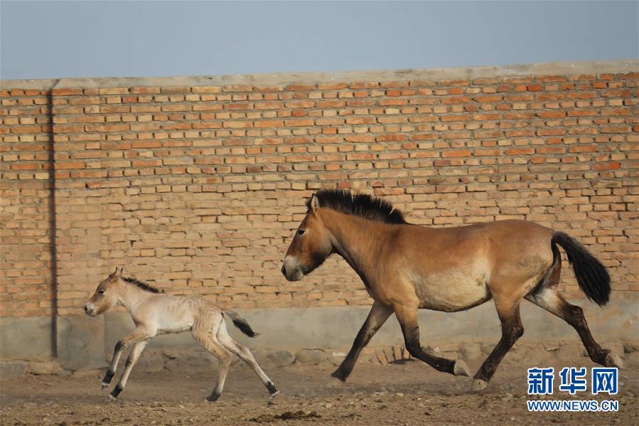 普氏野马进入繁殖高峰期 进入5月有4匹马驹出生