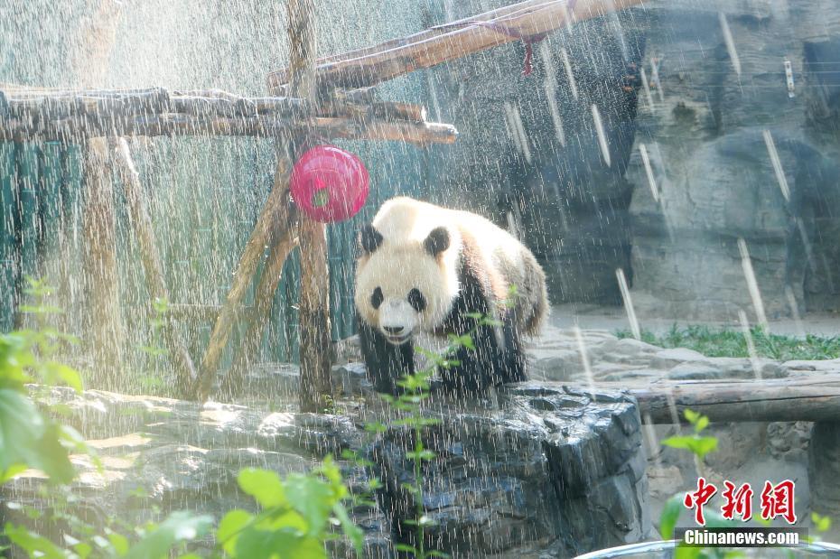 北京高温炙热 大熊猫淋浴降温