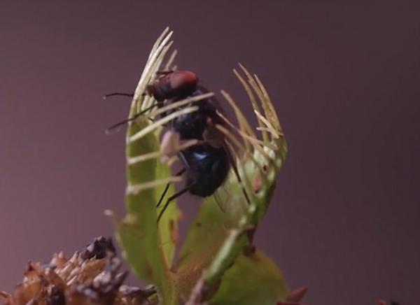 神奇的大自然!捕蝇草趁其不备捕获昆虫