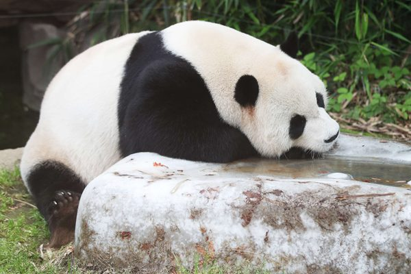 热死本宝宝啦!旅韩大熊猫趴冰上消暑纳凉