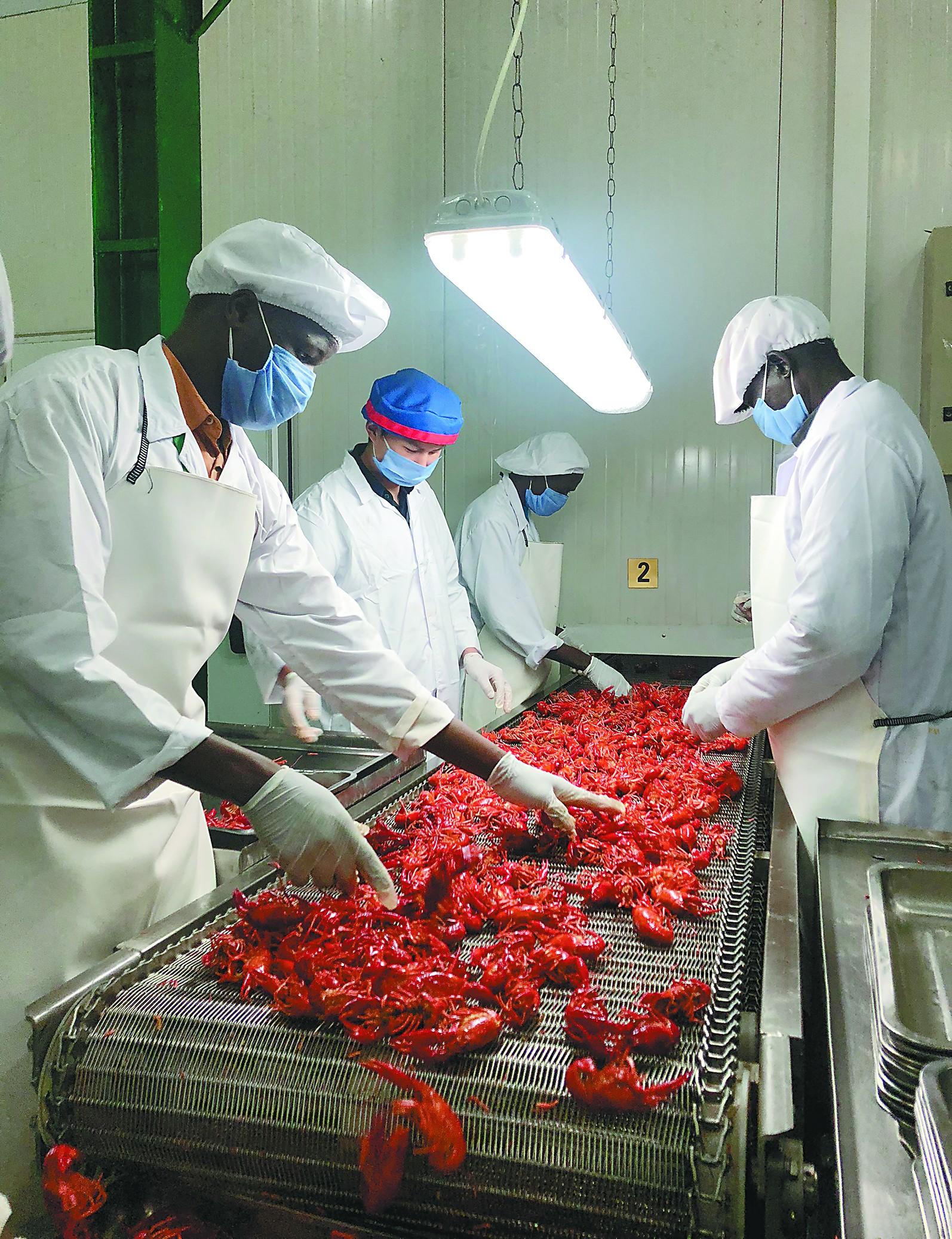 探访埃及小龙虾生产基地