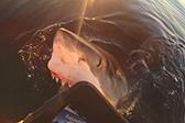 渔民偶遇大白鲨 几度尝试咬船上物品