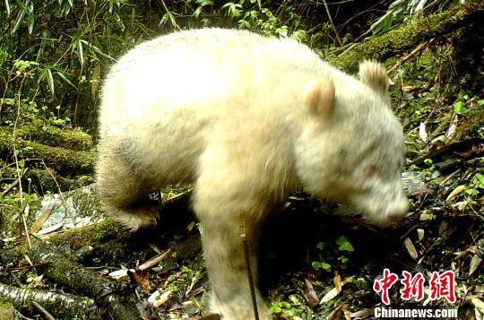 全球首例:四川卧龙国家级自然保护区拍摄到白色大熊猫