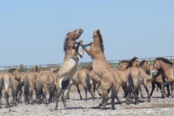 新疆多匹雄性野马因争夺配偶负伤