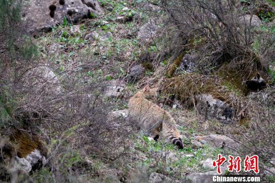 工作人员在祁连山区域直接记录到荒漠猫影像