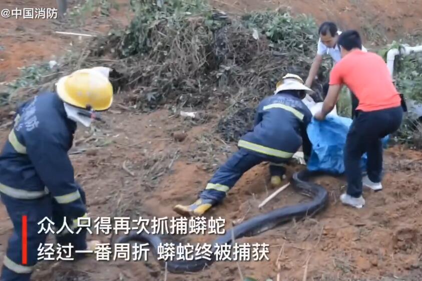 广东中山一养鸽场挖出3米长蟒蛇 属国家一级野生保护动物