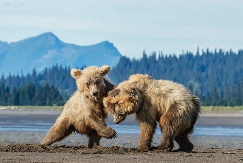 可爱!美国两只淘气小棕熊泥地里超萌打斗