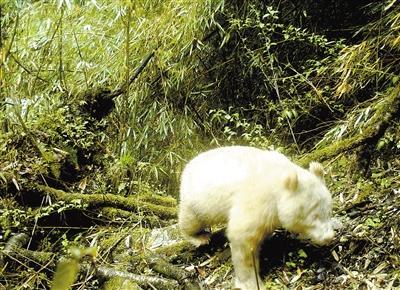 四川臥龍驚現白色大熊貓