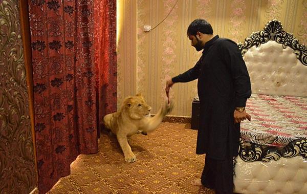 巴基斯坦男子家中圈养雄狮 称其像自己的孩子