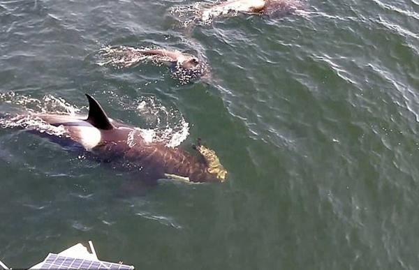 加海域虎鲸群为船上游客热情表演跳跃和捕猎