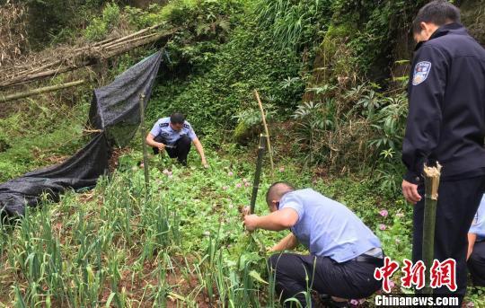四川一农妇为治病非法种植罂粟654株被查获
