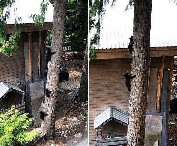手足情深!加拿大三只小黑熊相互扶持爬下大树