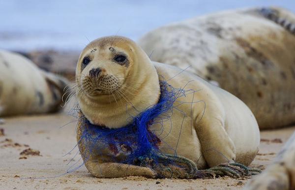 英摄影师拍下海豹被破渔网缠住脖子心碎照片