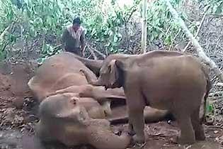 心碎!印度一小象企图用其象鼻唤醒去世母亲