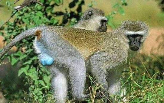 """绿猴会对无人机发出""""警报"""" 叫声因目标而不同"""
