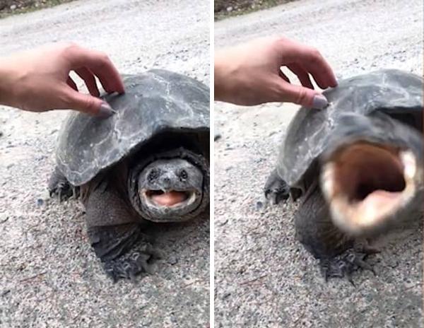 有惊无险!加拿大一女孩爱抚鳄龟险些被咬