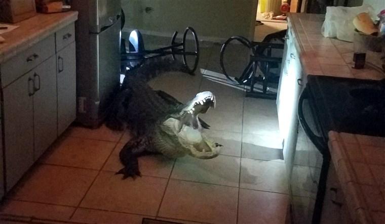 3米鳄鱼半夜爬窗进入美国民宅 打破多瓶红酒(图