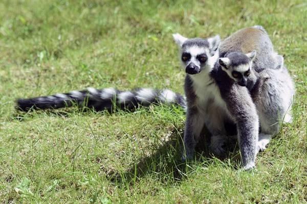 捷克动物园环尾狐猴宝宝亮相 小可爱全程抱着妈妈不撒手