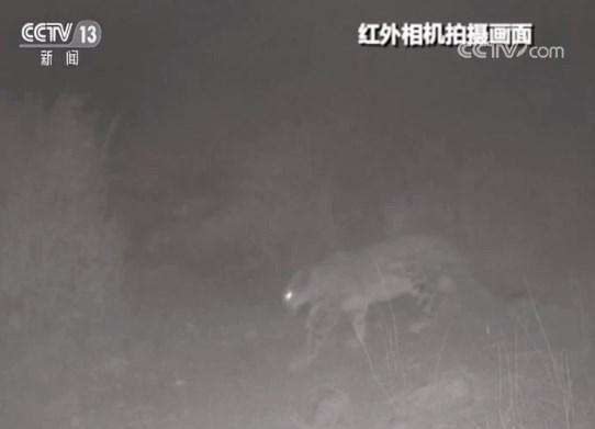 甘肃瓜州:安西自然保护区拍到雪豹影像