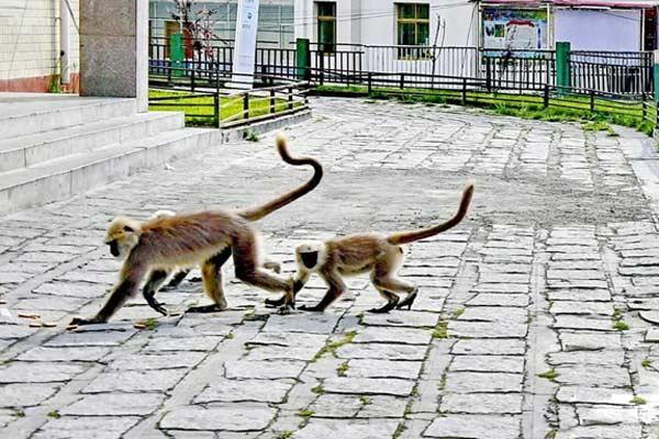 西藏亚东:人与猴子和谐相处