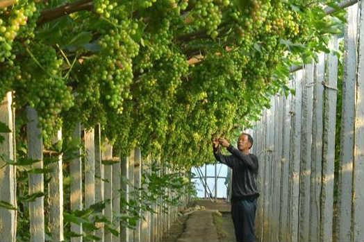 河北唐山:葡萄种植助推乡村振兴