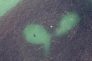 奇观!澳鲑鱼群变换队形形成迷人图案躲避海狮