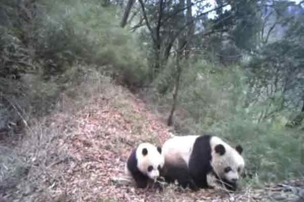 野生大熊猫母子幼崽撒娇卖萌求关注