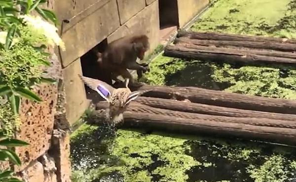 残酷!荷兰动物园一狒狒捕获小鸭子当场开吃