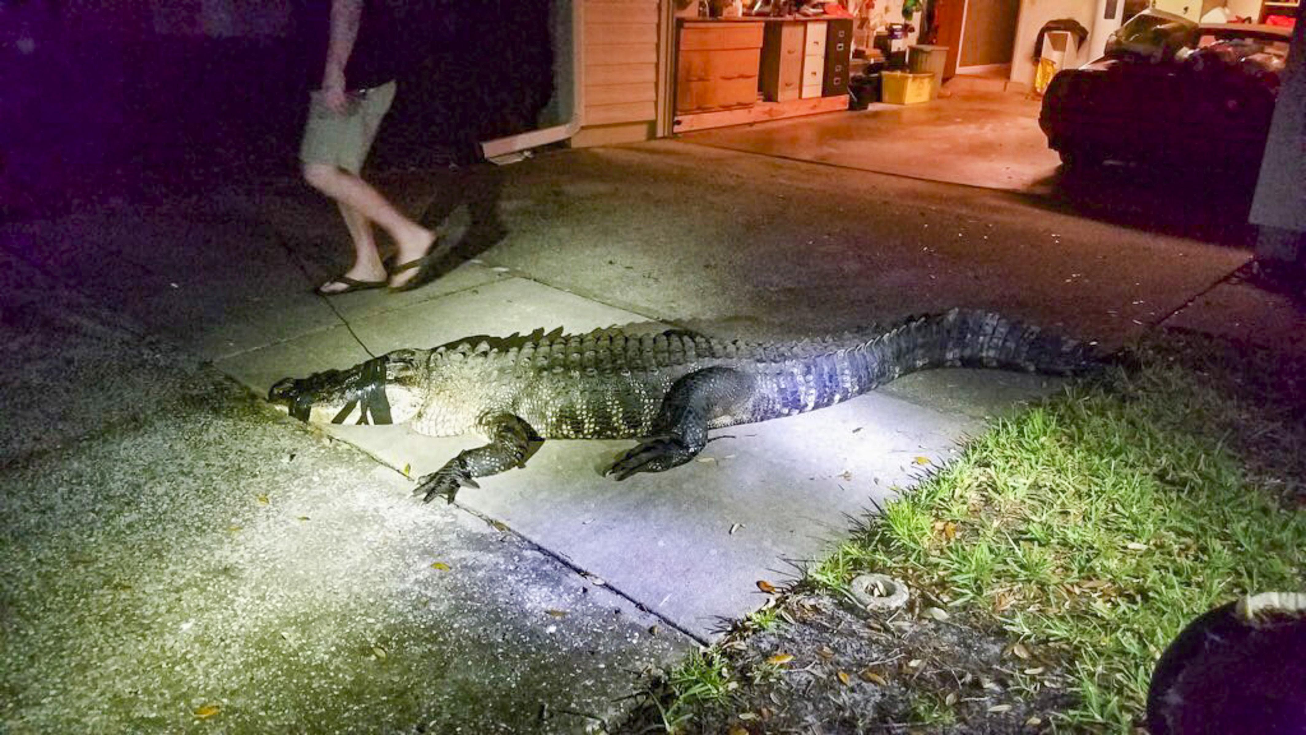 """美一女子家中凌晨迎来""""不速之客"""" 3米巨鳄潜入厨房"""
