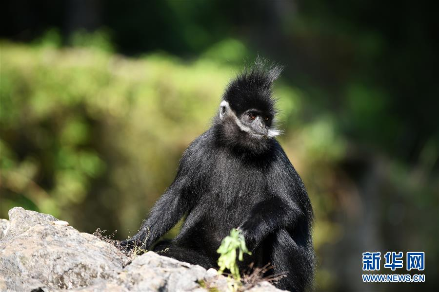 贵州麻阳河保护区黑叶猴数量逐年增加