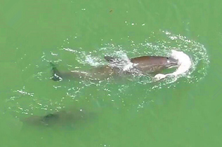 海豚妈妈不舍离开死去幼崽 尽力推其尸体浮起