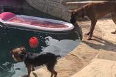 两只聪明金甲�鹕衲�色大�狗狗分工合作成功把球从泳池中捞出