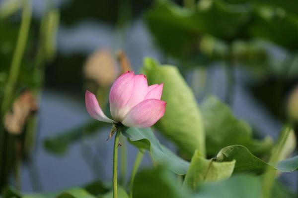 杭州:西湖荷花渐次开 六月美景入画来